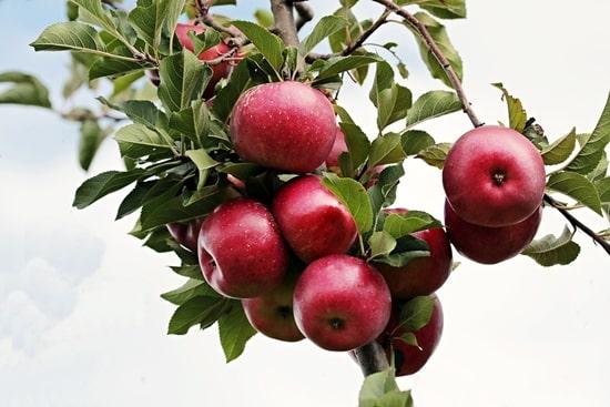 リンゴ 金スマ その調理、9割の栄養捨ててます 中居正広 調理法 食べ方 アンチエイジング